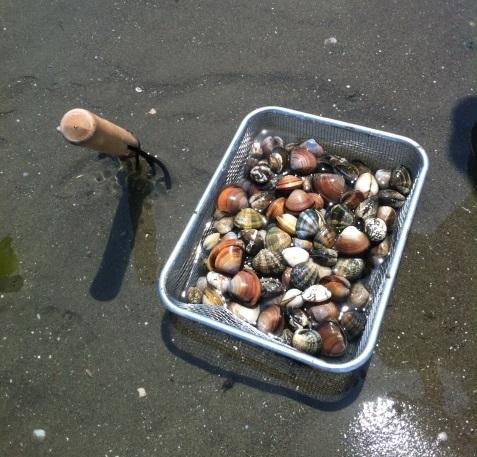 潮干狩りアサリ